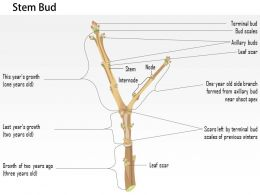 0714 Stem Bud Medical Images For PowerPoint