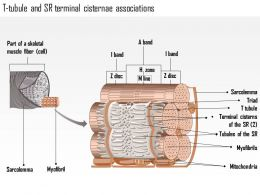 0714_t_tubule_and_sr_terminal_cisternae_associations_medical_images_for_powerpoint_Slide01