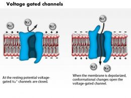 0714 Voltage Gated Channels Medical Images For Powerpoint