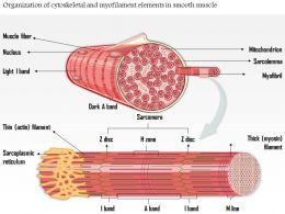 0814 Organization Of Cytoskeletal And My Filament Elements In Smooth Muscle Medical Images For PowerPoint