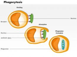 0814 Phagocytosis Medical Images For PowerPoint