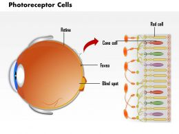 0814 Photoreceptor Cells In The Retina Of The Eye Medical Images For PowerPoint
