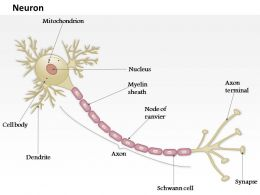 0914 Anatomy Of A Typical Human Neuron Medical Images For PowerPoint