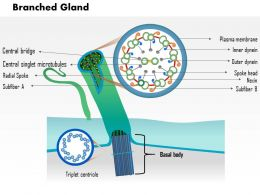 0914 Branched Gland Medical Images For PowerPoint