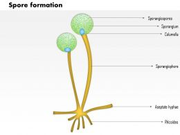 0914 Spore Formation Medical Images For PowerPoint