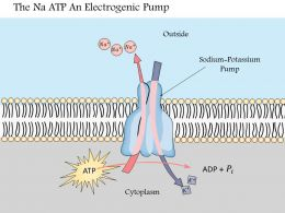 0914 The Na K Atpase An Electrogenic Pump Medical Images For PowerPoint