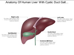 Anatomy Of Human Liver With Cystic Duct Gall Bladder