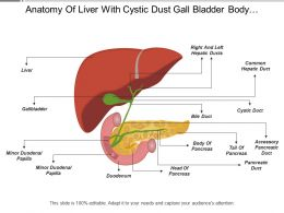 Anatomy Of Liver With Cystic Dust Gall Bladder Body Of Pancreas