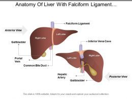Anatomy Of Liver With Falciform Ligament Interior Vena Cava