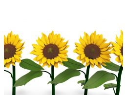 Beautiful Sunflowers In Background Stock Photo