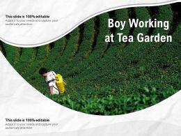 Boy Working At Tea Garden