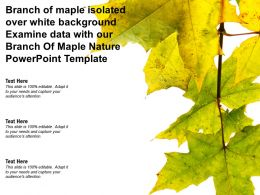 Branch Of Maple Isolated Over White Examine Data With Our Branch Of Maple Nature Template