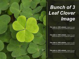 Bunch Of 3 Leaf Clover Image