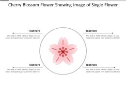 Cherry Blossom Flower Showing Image Of Single Flower