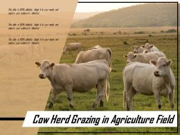 Cow Herd Grazing In Agriculture Field
