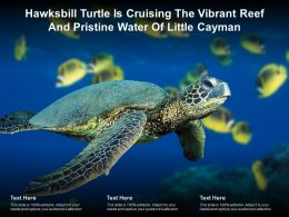 Hawksbill Turtle Is Cruising The Vibrant Reef And Pristine Water Of Little Cayman