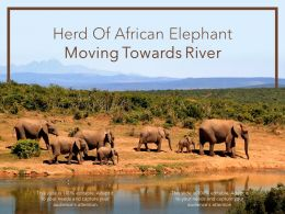 Herd Of African Elephant Moving Towards River