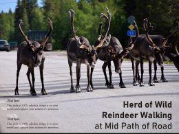 Herd Of Wild Reindeer Walking At Mid Path Of Road