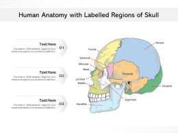 Human Anatomy With Labelled Regions Of Skull