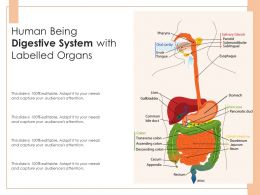 Human Being Digestive System With Labelled Organs