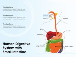 Human Digestive System With Small Intestine