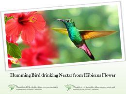 Humming Bird Drinking Nectar From Hibiscus Flower