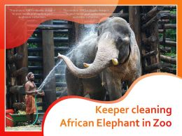 Keeper Cleaning African Elephant In Zoo