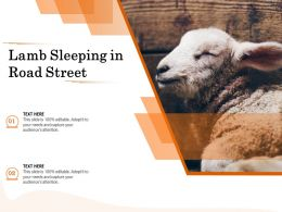 Lamb Sleeping In Road Street