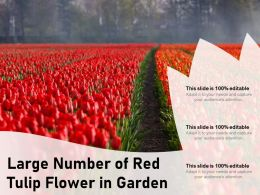 Large Number Of Red Tulip Flower In Garden