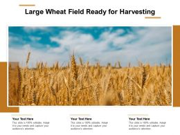 Large Wheat Field Ready For Harvesting