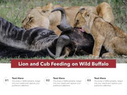 Lion And Cub Feeding On Wild Buffalo