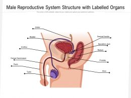 Male Reproductive System Structure With Labelled Organs