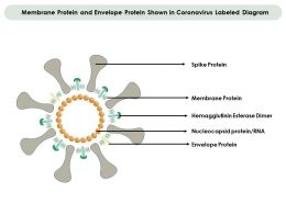 Membrane Protein And Envelope Protein Shown In Coronavirus Labeled Diagram