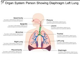 Organ System Person Showing Diaphragm Left Lung