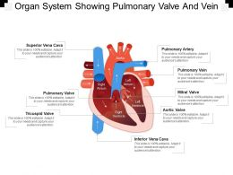 Organ System Showing Pulmonary Valve And Vein