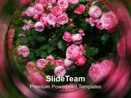 Pink Rose Nature Powerpoint Templates Ppt Themes And Graphics 0113