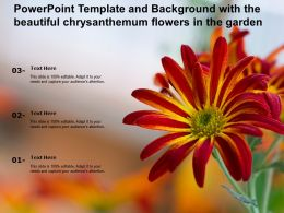 Powerpoint Template And Background With The Beautiful Chrysanthemum Flowers In The Garden