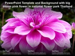 Powerpoint Template Background With Big Bloom Pink Flower In National Flower Park Thailand