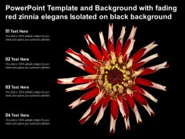 Powerpoint Template Background With Fading Red Zinnia Elegans Isolated On Black Background