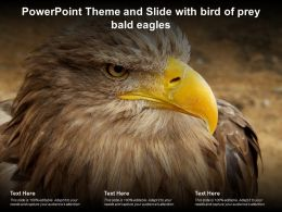 Powerpoint Theme And Slide With Bird Of Prey Bald Eagles Ppt Powerpoint