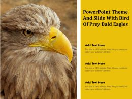 Powerpoint Theme And Slide With Bird Of Prey Bald Eagles