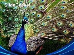 Peacock Animals PowerPoint Templates And PowerPoint Backgrounds 0311