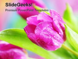 Pink Tulips Beauty PowerPoint Templates And PowerPoint Backgrounds 0311