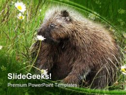 Porcupine Animals PowerPoint Templates And PowerPoint Backgrounds 0211