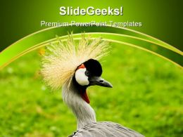 South African Crowned Crane Beauty PowerPoint Templates And PowerPoint Backgrounds 0211