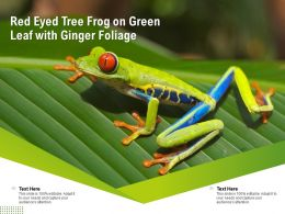 Red Eyed Tree Frog On Green Leaf With Ginger Foliage