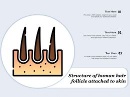 Structure Of Human Hair Follicle Attached To Skin