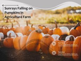 Sunrays Falling On Pumpkins In Agriculture Farm