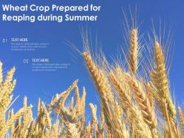 Wheat Crop Prepared For Reaping During Summer
