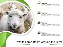 White Lamb Roam Around The Farm